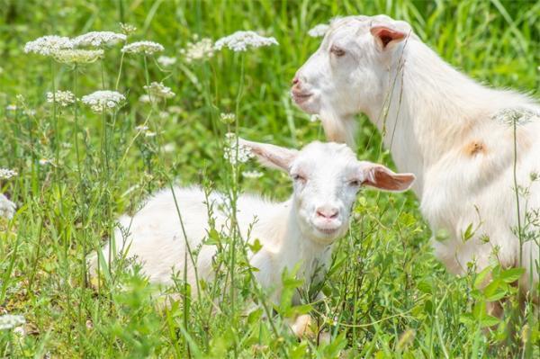 刷新世界观!印度一山羊宝宝长出人脸,网友猜测令人窒息