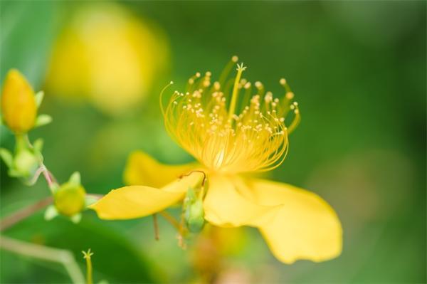 德国研究:金丝桃属干花可催化光氧化还原反应,用作神奇光催化剂