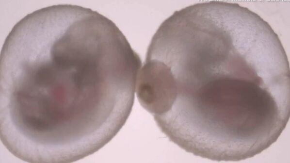 细思恐极!小鼠胚胎在子宫外发育出会跳动的心脏和头 下一步是人类胚胎