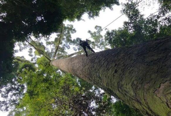100.8米!马来西亚发现世上最高热带树 网友:秦放,是你在等司藤吗?