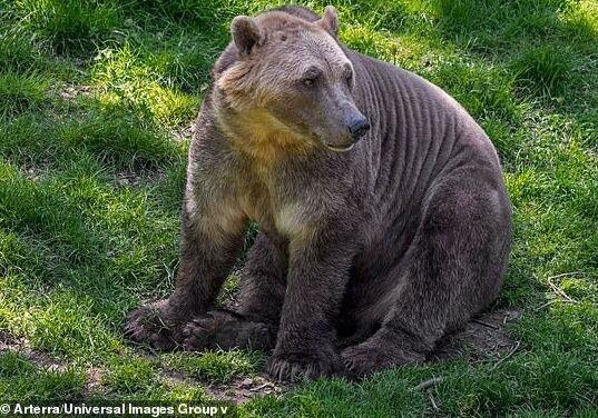 熊生艰难!气候变暖下,北极熊不得不吃讨厌的食物 还要与灰熊交配改良后代