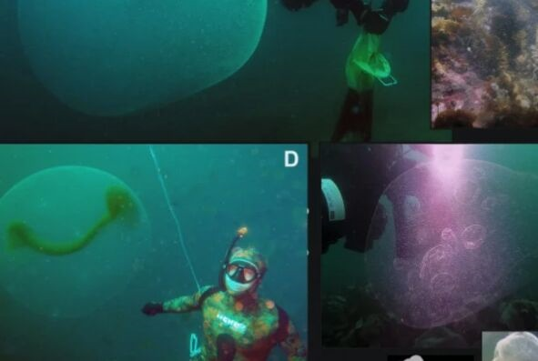 挪威水域果冻状不明球体之谜解开:内部裹满粘液,成千上万鱿鱼卵!