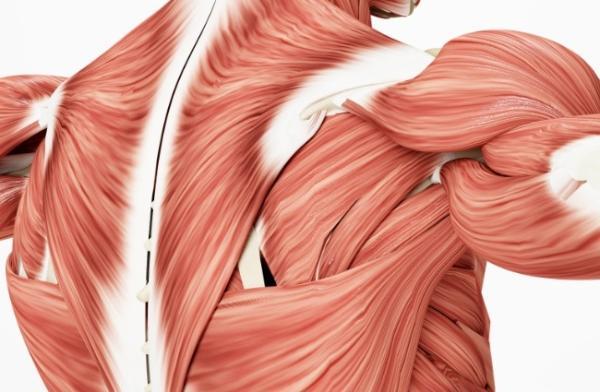 多锻炼很关键!研究:骨骼肌可调控和影响大脑、视网膜的神经退化与衰老