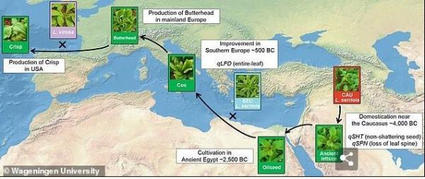 《自然》子刊揭示生菜的驯化:6000年前古埃及人用来榨油 吃了让性能力更强