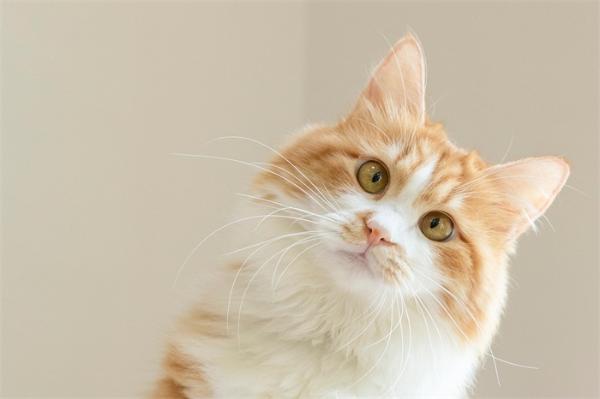 撸猫需谨慎!养猫可能会增加患恶性脑癌风险,这种寄生虫威力不可小觑