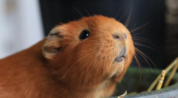 身长近1米,比猫还大的老鼠真的存在,看起来还很可爱!