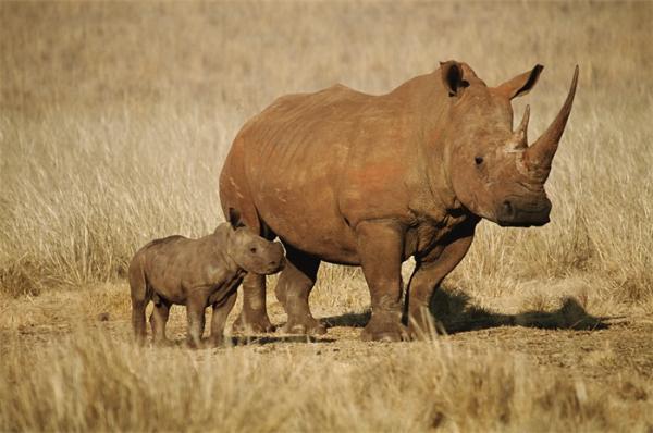 世界上仅存2只北部白犀牛,植入的胚胎仍在欧洲进行测试,目前,20世纪70年代至80年代的非法狩猎使北方白犀牛的数量从500头减少到15头。世界上最后一只雄性北白犀牛苏丹在肯尼亚去世,                        <sup dropzone=