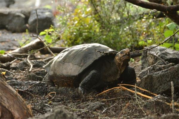 """""""灭绝""""100年的加拉帕戈斯巨龟重露踪迹"""