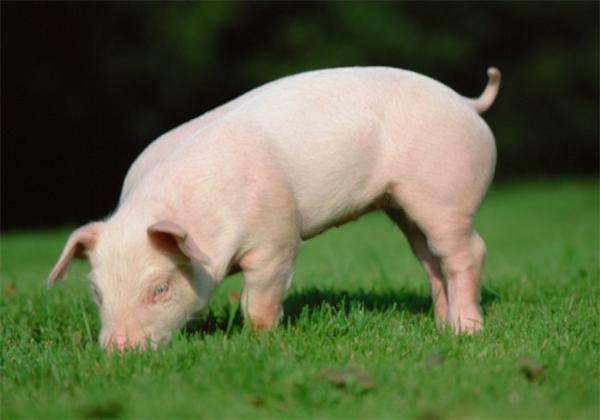 行行出状元!养猪场招人研究生年薪18万起:农村孩子优先