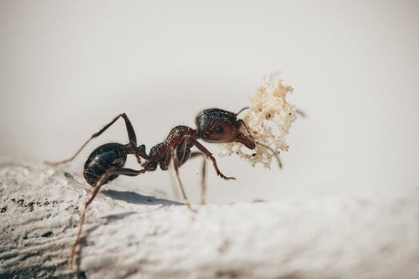 """代代循环!寄生虫竟能让蚂蚁""""永葆青春"""",但背后代价也很可怕"""