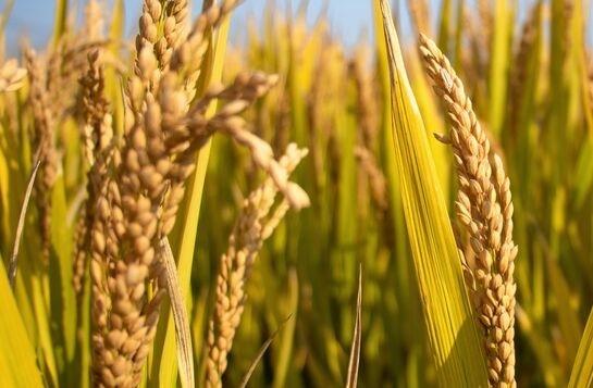 1004.83公斤!袁隆平团队杂交水稻双季亩产再传喜讯,在三亚首获丰收
