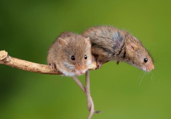 比马斯克还疯狂!科学家实现远程操纵老鼠意识,让路人甲秒变好基友