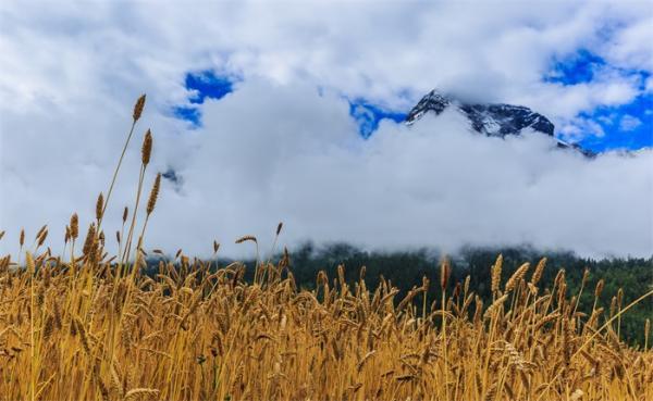 痛心!西藏粮食作物产量因气温升高而显著减产