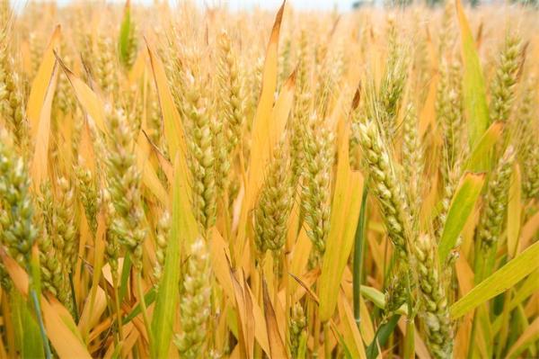 藏粮于技!我国首次育成抗赤霉病高产小麦新品种,有望成新一代主导品种
