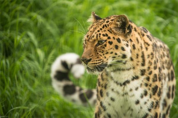 科学家呼吁美国重新引入美洲豹:此前误解导致了50多年前这一物种濒危