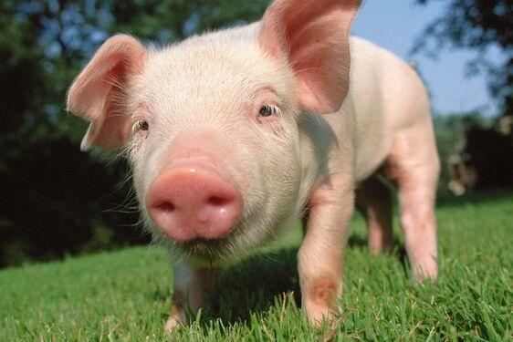 """难以置信!猪和小鼠能通过屁股呼吸 """"直肠吸氧""""或取代ECMO成就生命奇迹"""