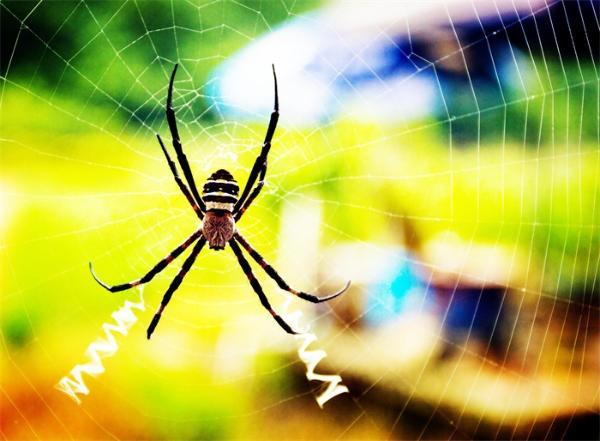 惊叹!毒蜘蛛会捕食各种蛇类,黑寡妇甚至能干掉比自身重355倍的蛇