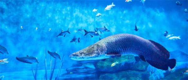 神奇海鳗竟能陆上生存捕猎:一张嘴咬住猎物,另一张嘴弹出将食物吸入食道