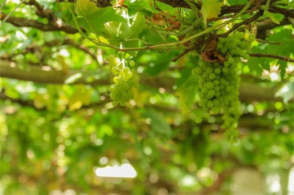 返乡致富迎丰收!大学生种葡萄一亩故意减产6000斤:让葡萄味道更好
