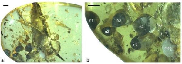 科学家发现距今9900万年的陆生蜗牛标本:刚分娩完就被困在了琥珀中