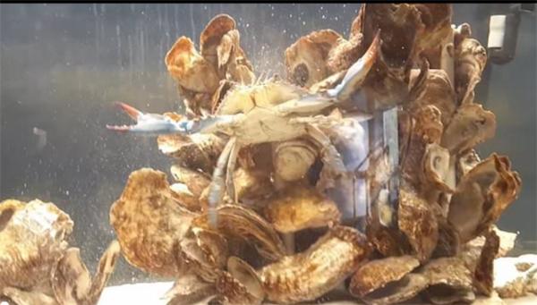 """罕见!美国发现一只雌雄同体螃蟹,生殖器官和身体特征""""不男不女"""""""