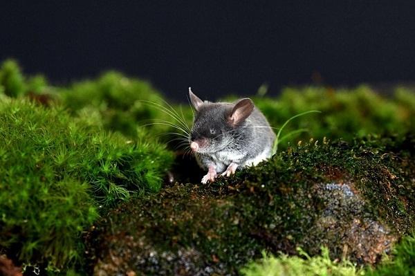 神奇动物在这里!昆明动物研究所发现猪尾鼠具有回声定位能力