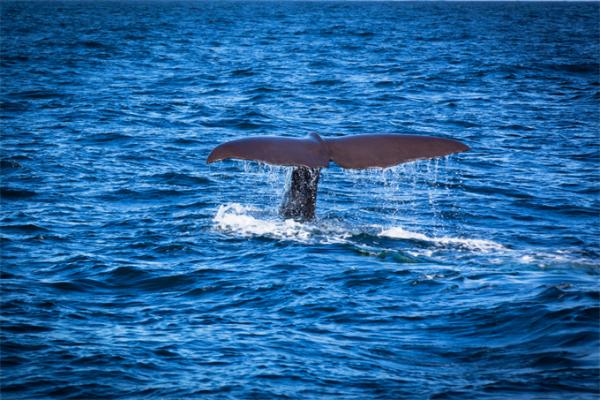 """科学家在印度洋发现""""侏儒蓝鲸""""新物种:体型更小,发出独特声频"""