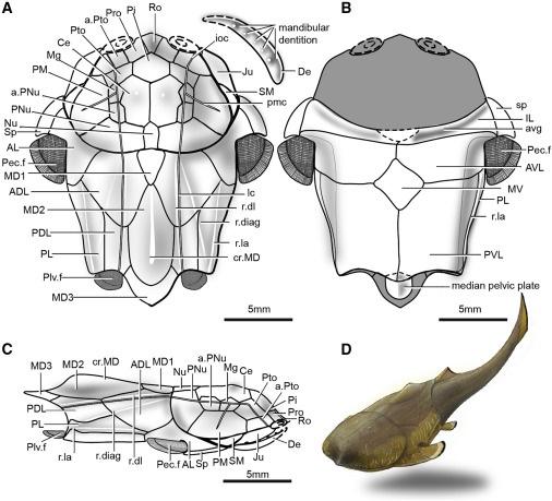 """我们的牙齿和下巴都来自于这个鱼""""祖先""""!重庆发现4.23亿年前袖珍边城鱼"""