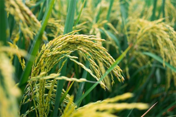 水稻也在北迁!研究发现:中国水稻种植北界向高纬度平均迁移近25公里