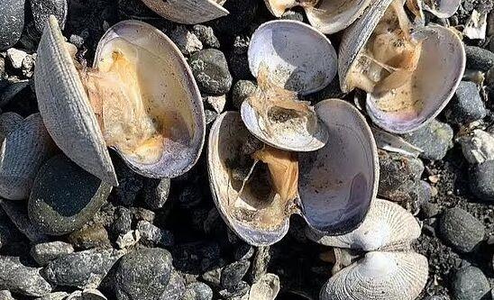 美国西北地区遭遇近50度极端高温 海滩上一大片蛤蜊直接被烤熟
