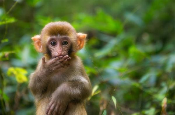 世界首只!我国人工饲养繁殖的第八代黑叶猴成功存活,科研价值极高
