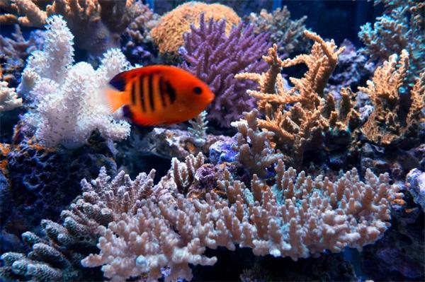 神奇!科学家首次观察到珊瑚细胞吞噬藻类