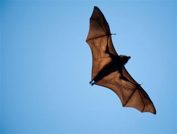 你能想象?吸血蝙蝠不仅爱群居,还乐于共享食物和互相梳理毛发