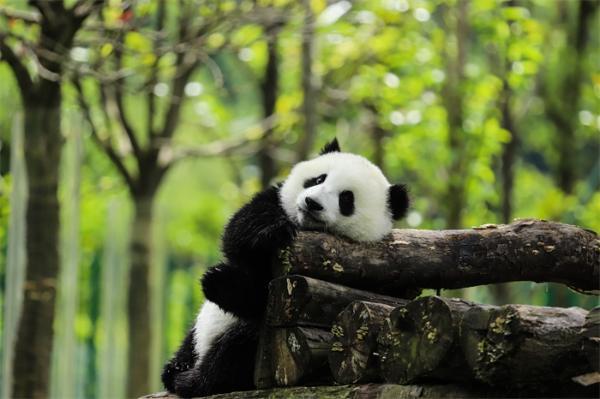 大熊猫由濒危降为易危!生态环境部:野外种群数量达1800多只