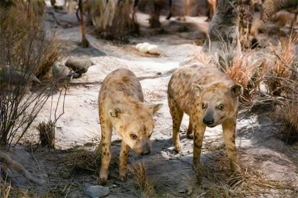 强者恒强!地位较高的鬣狗妈妈,也懂得把它们的社交网络传递给幼崽