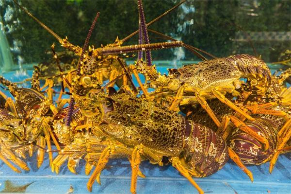 研究表明:龙虾可以探测到低频声音,人为噪音很可能会惊扰它们
