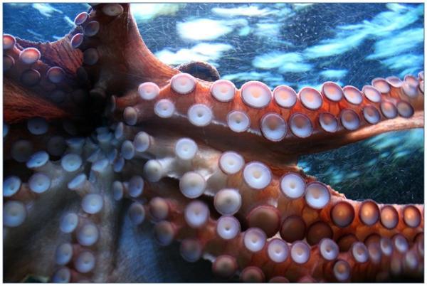 """罕见!太平洋深处拍到游动的透明""""玻璃章鱼"""":内部器官清晰可见"""