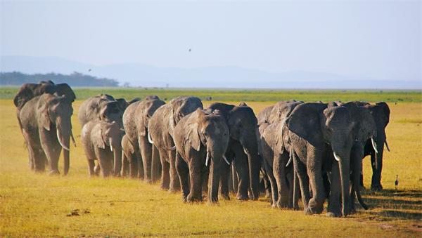 """离家出走一年多,""""断鼻家族""""14头大象终于回家了!"""