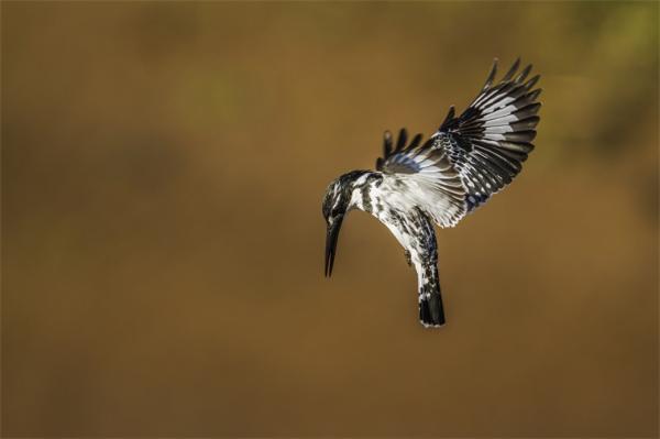 云南龙陵首次发现一只名字很奇特的鸟——斑鱼狗鸟