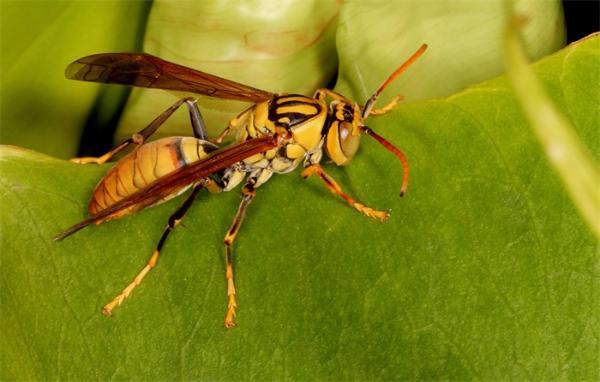 美国遭遇亚洲杀人大黄蜂入侵:体型接近5厘米,毒性与毒蛇的毒液相当