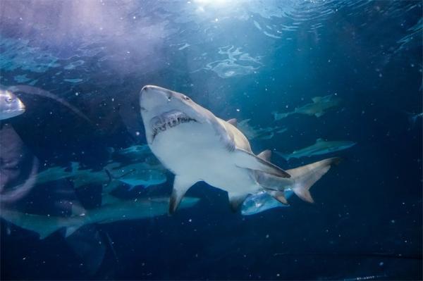 地表最强!研究发现鲨鱼丝毫未受行星撞地球事件影响