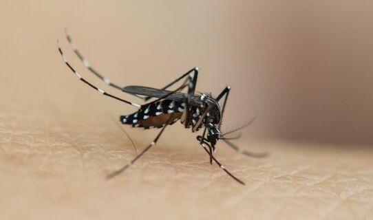 以蚊灭蚊!广州全球最大蚊子工厂:日产500万只雄蚊 让雌蚊后代无法孵化