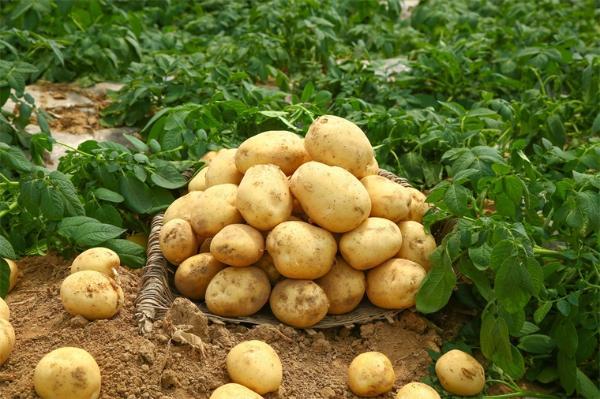 """奇妙!人类肥胖基因能让水稻和土豆变""""胖"""",可增产50%"""
