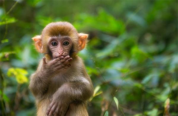 不是只有人类会紧张到表现失常,猴子也会
