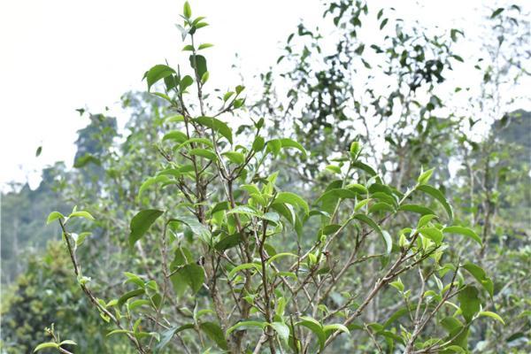古树茶的品质比大树茶好,依据是什么?