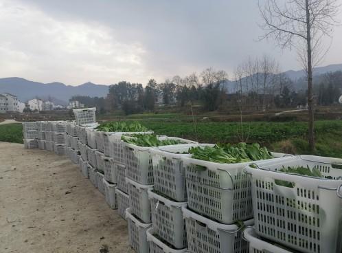 思南许家坝:300亩菜苔喜获丰收