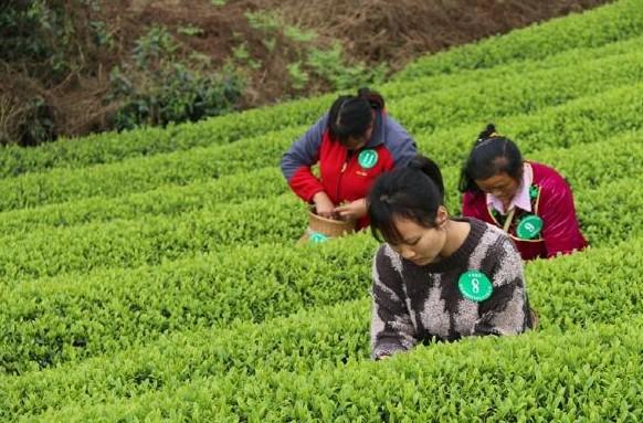 黎平县组织开展2021年茶叶采摘技能竞赛暨茶叶双手采摘技能培训会
