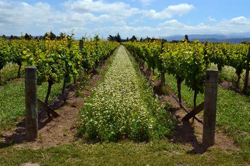 为何有些葡萄园允许杂草生长?