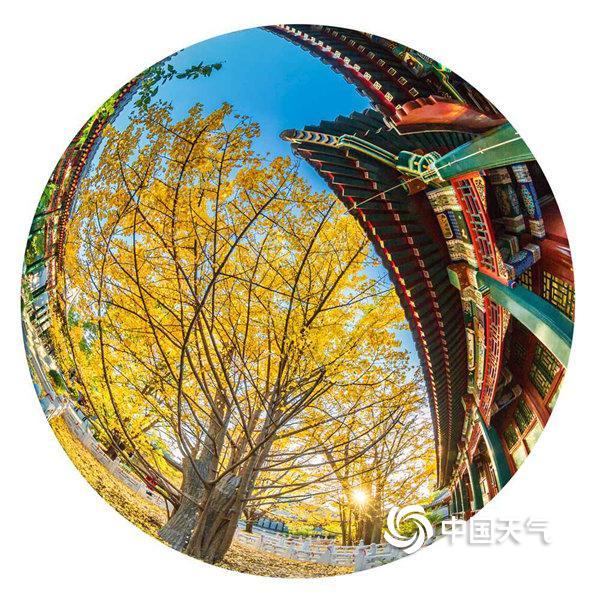 银杏正当时 用鱼眼圈住北京的灿烂金秋