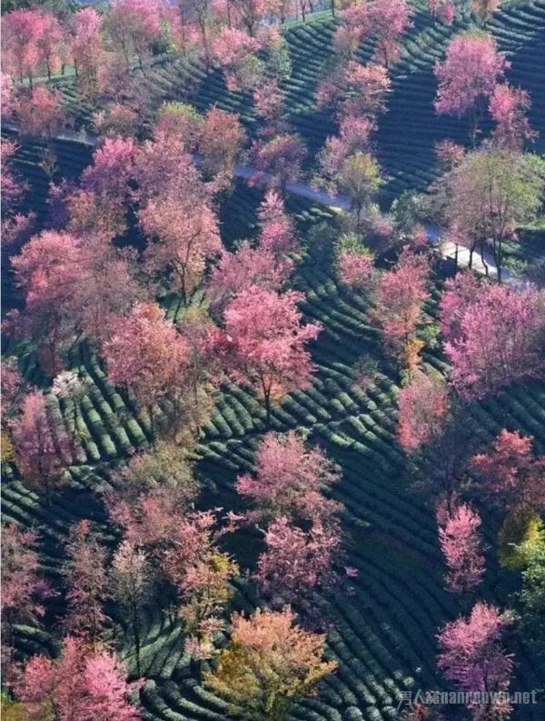 冬季旅行推荐地 去无量山看冬日里最美的樱花绽放